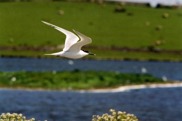 Morwennol Bigddu - Sandwich Tern at Cemlyn (Ben Stammers).jpg