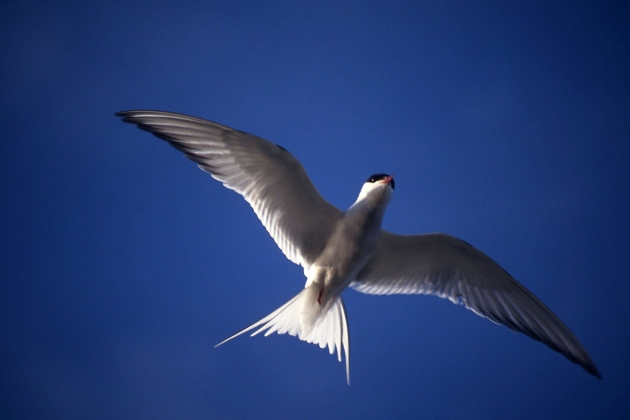 Morwennol y Gogledd - Arctic Tern, Cemlyn (Ben Stammers).jpg